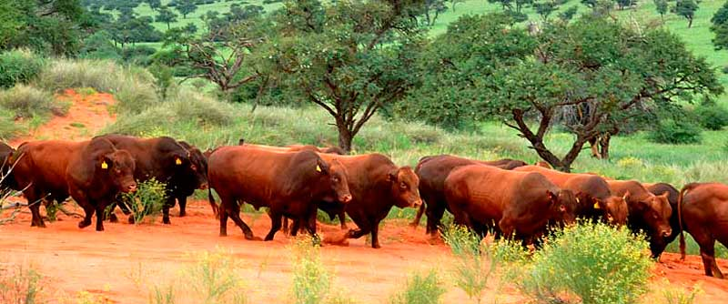 Bulls tested under extensive conditions