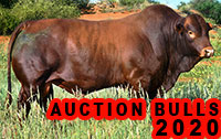AUCTION BULLS 2020
