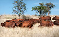 Auction 2017 - bulls in veld