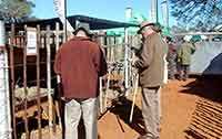 Botswana guests at bull auction pens