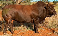 LOT 36: HT 17-0031  (POENA / POLLED)