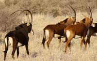 Sable bull and cows